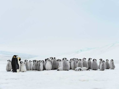 4-c-an-antarctic-peninsula-emperor-penguin-chicks-adults-93330528-g-rm-editts.jpg#asset:9511:small